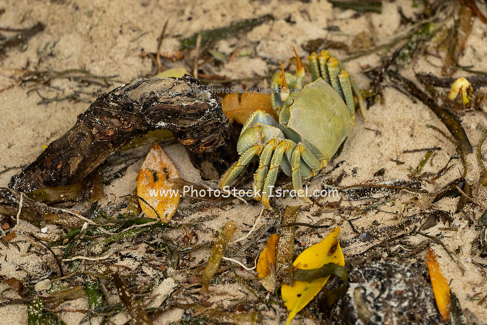 Horned ghost crab (Ocypode ceratophthalmus). Like other ghost crabs, this crab has one claw larger than the other. Ghost crabs live in burrows in the sand, emerging to feed on debris and carrion. Photographed on La Digue Island, in the Seychelles, a group of islands north of Madagascar in the Indian Ocean.