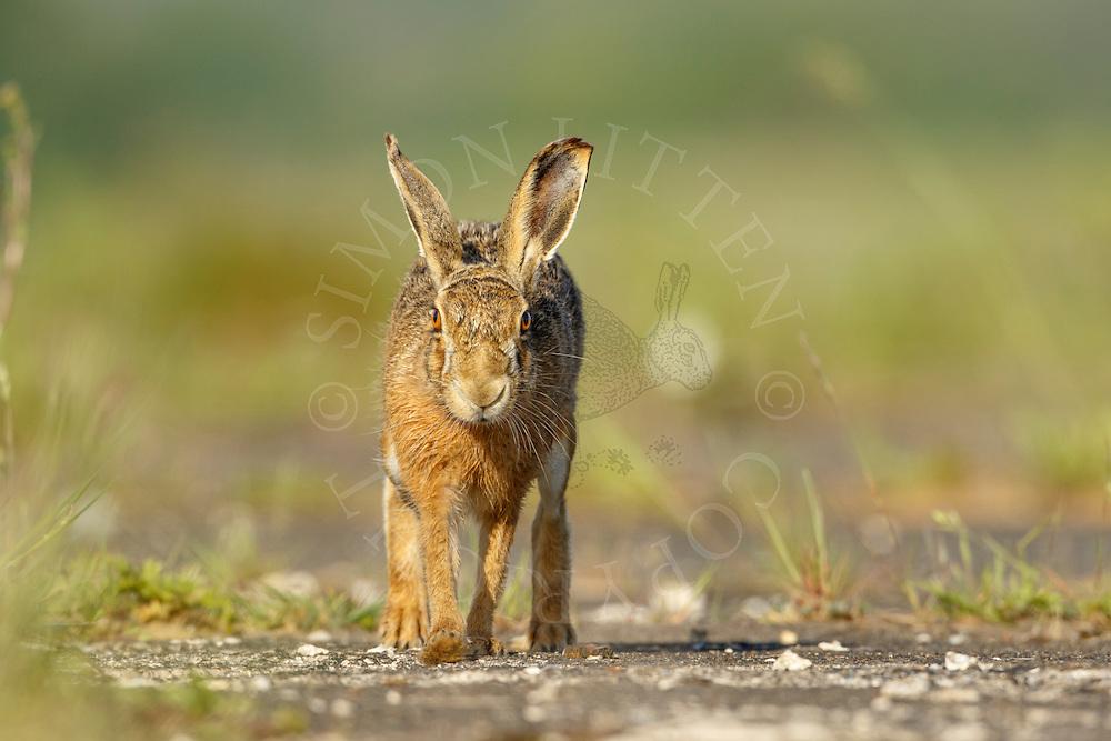 European Hare (Lepus europaeus) adult running along farmland track, Norfolk, UK.May.
