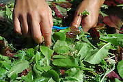 Farm Girl Farm CSA, sustainable community supported agriculture. Laura Meister, hands wash fresh baby salad greens.