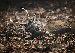 © Licensed to London News Pictures. 05/02/2020. London, UK. A young stag lies in leaves during a foggy morning Bushy Park in south west London. Photo credit: Peter Macdiarmid/LNP