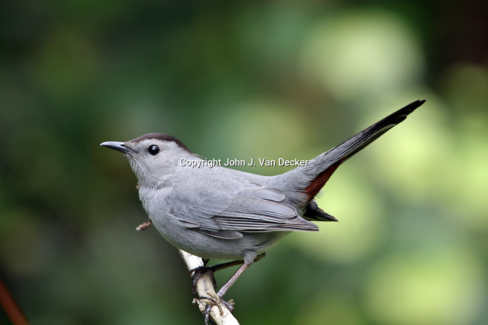 Gray Catbird, Dumetella carolinensis, Naples, Florida