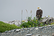 A Bald Eagle perched on driftwood along the beach at the McNeil River State Game Sanctuary on the Katmai Peninsula, Alaska. The remote site is accessed only with a special permit and is the world's largest seasonal population of brown bears in their natural environment.