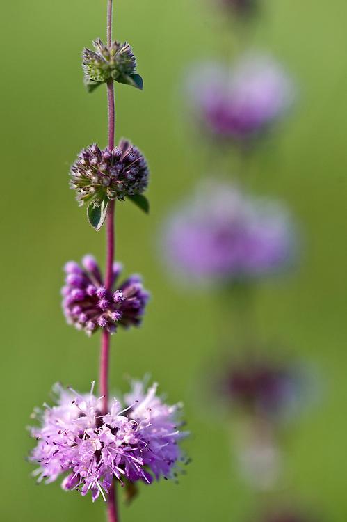 Pennyroyal (Mentha pulegium) closeup, Hortobagy National Park, Hungary