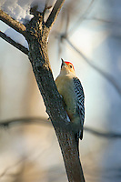 Red-bellied, Woodpecker, Melanerpes, carolinus