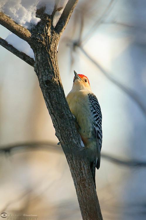 Red-bellied, Woodpecker, Melanerpes, carolinus