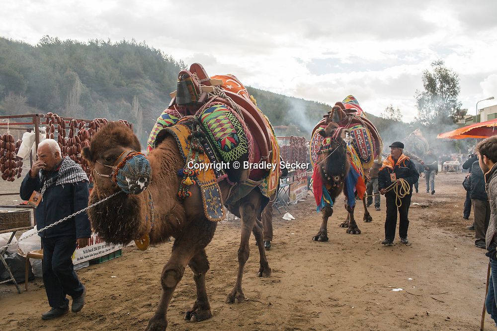 TURKEY, Izmir, Selçuk. Competing camels are walked to the wrestling arena, past fans and food stalls selling camel sausages and sandwiches at the 35th annual Selçuk Camel Wrestling Festival.