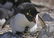 Rockhopper penguins parents take turn sitting nest.