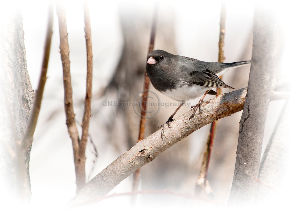 A Dark-eyed Junco standing on a small branch in a backyard in Gatineau, Qc. In many places are the most common birds at feeders.