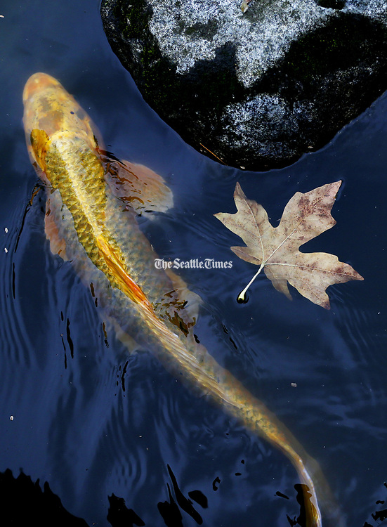 A koi fish swims past a fallen leaf. (Ken Lambert/The Seattle Times)