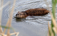 Middletown, New York - A muskrat (ondatra zibethicus) swims across the lake at Fancher-Davidge Park on May 7, 2011.