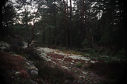 Picture shows woods around L&ouml;kholmen, West Sweden, 21st December 2013<br /> <br /> Credit should read: Picture by Mark Larner