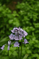 Pink bluebell flower