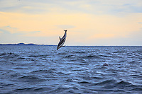 A jumping dolphin off the coast of Kaikoura, New Zealand