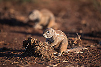 Ground Squirrel, Madikwe Game Reserve, North West Provonce, South Africa