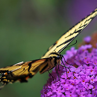 Butterfly photography from New England nature photographer Juergen Roth showing an eastern tiger swallowtail at The Gardens at Elm Bank in Wellesley, Massachusetts. Elm Bank is a beautiful outdoor area that features the garden, soccer fields and hiking trails along Charles River.<br />