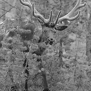 Bull Elk Forest View - Yellowstone National Park - Black & White