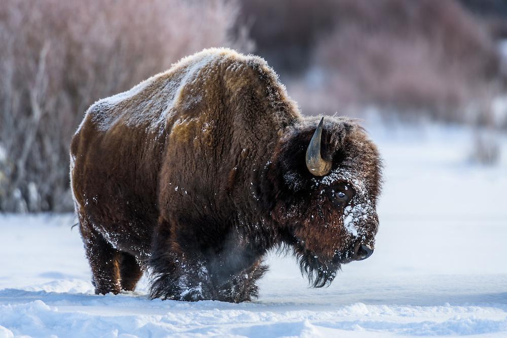 Bison im Grand Teton Nationalpark, USA