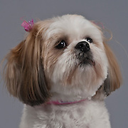 Closeup of soft red and white Shih Tzu with barrette in hair