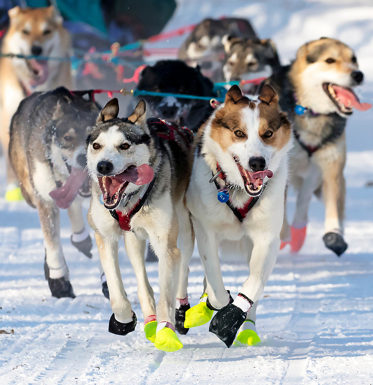 Alaska. Dog team of Michelle Phillips running through trails of Anchorage during the 2017 Iditarod Ceremonial start, Anchorage.