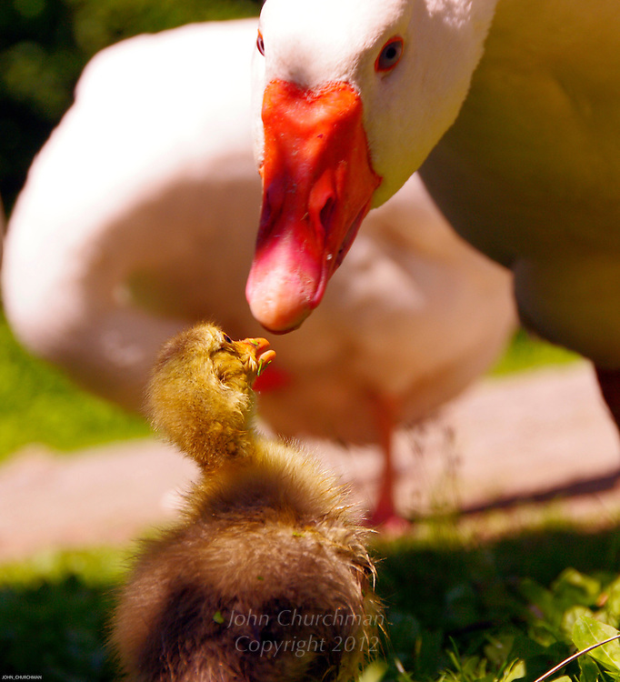 Gosling with his gander