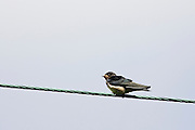 Young swallow perched on a telegraph wire, the Cotswolds, United Kingdom