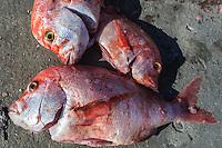 Red Stumpnose catch, Struisbaai Harbour, Struisbaai, Western Cape, South Africa