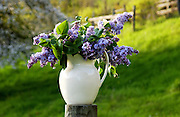 Lilac blooms in antique pitcher against green field