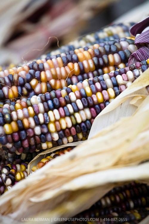 Ears of multi-colored corn.