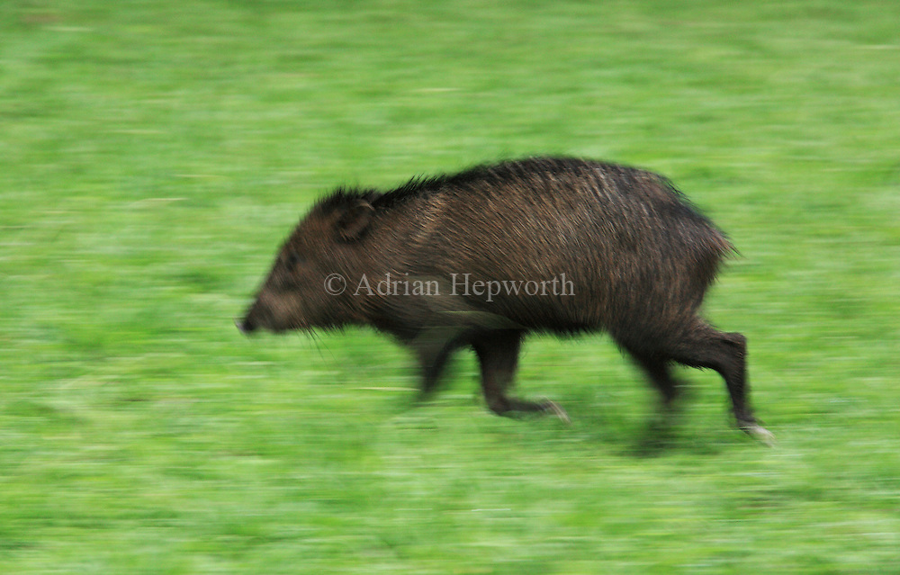 Collared Peccary (Tayassu tajacu) running across clearing in rainforest. La Selva Biological Station, Costa Rica. <br />