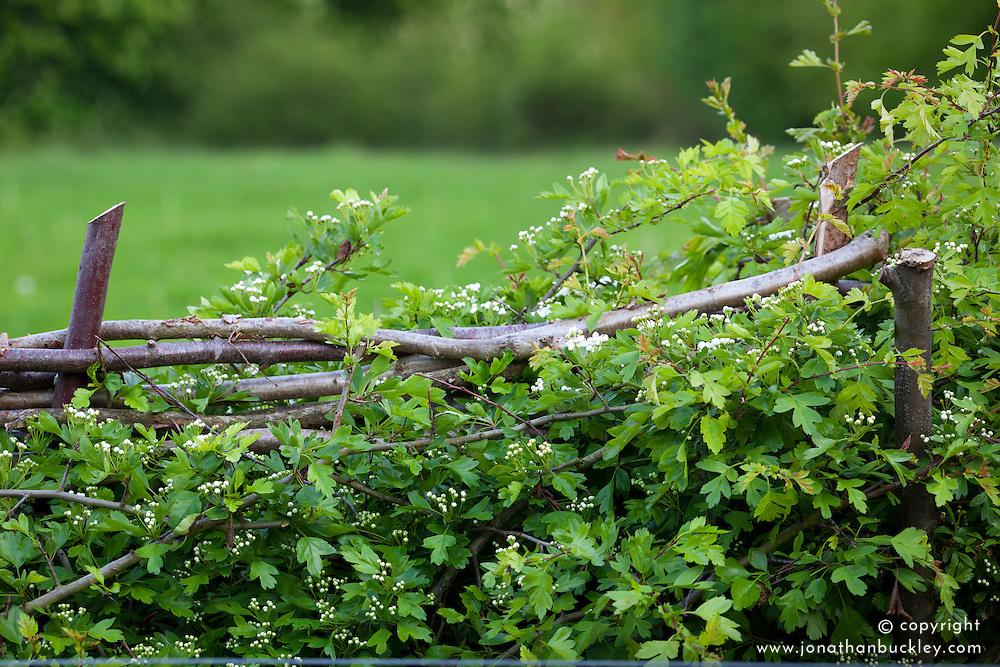 Layered native hedge. Hawthorn - Crataegus monogyna