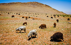 A flock of goats and sheep in the Atlas Mountains, Morocco<br /> <br /> (c) Andrew Wilson | Edinburgh Elite media