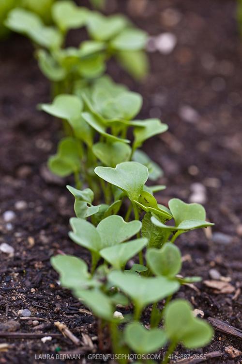 Cherry Belle Radish seedlings