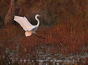 An Egret comes in for a landing in the Horicon Marsh, Friday, Oct, 10, 2003.The bird is in the Heron family.  JEFFREY PHELPS PHOTO