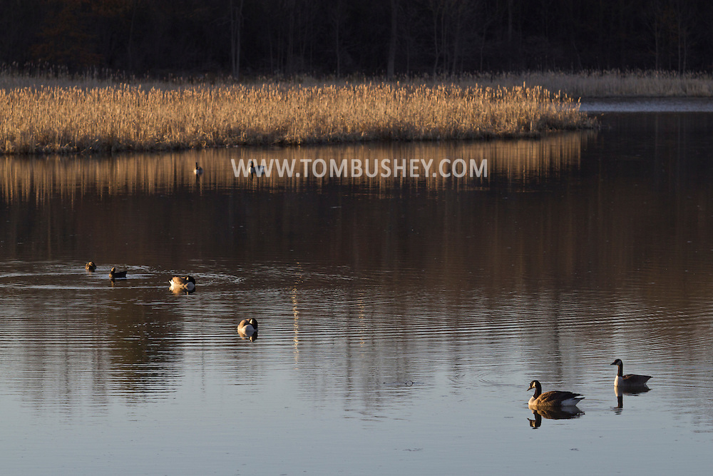 Goshen, New York - Canada geese (Branta canadensis) and other waterfowl in the water at the 6 1/2 Station Road Sanctuary on April. 2, 2014. The sanctuary is located on 62 acres of wetland and is owned and maintained by the Orange County Audubon Society.