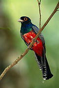 Blue-crowned Trogon (male)<br />