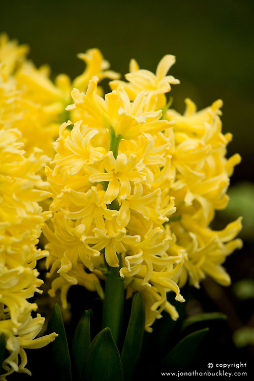 Hyacinthus orientalis 'Yellow Queen'