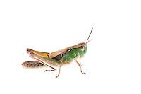 IFTE-NB-007477; Niall Benvie; Stenobothrus lineatus; Austria; grasshopper; Europe; Tirol; Fliesser Sonnenhänge; insect arthropod invertebrate; horizontal; high key; brown green white; one; upland grassland meadow; 2008; July; summer; strobe backlight; Wild Wonders of Europe Naturpark Kaunergrat