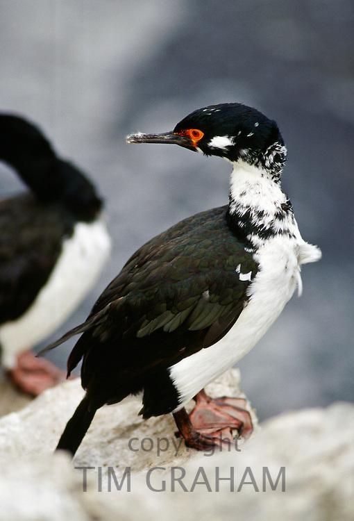 Rock Shag Waterbird,  Falkland Islands