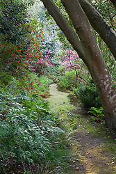 Path through woodland garden with rhododendrons and azaleas framed by trunks of 400 year old holly tree