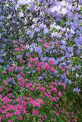 Rhododendron 'Hinamayo' (Kurume azalea) with R. augustinii