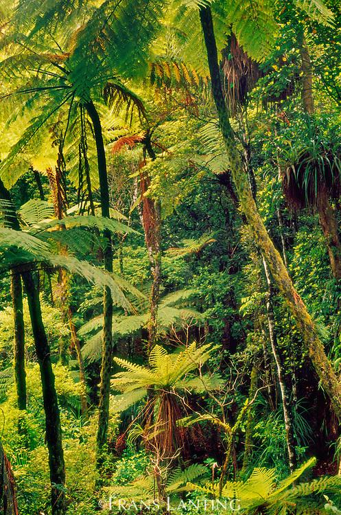 Tree fern forest, Whirinaki Conservation Park, New Zealand