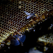 Asiatic giant honey bees, one of the largest species in bee family seen at their comb after the comb landed on the forest ground during harvesting honey process on February 28, 2016.