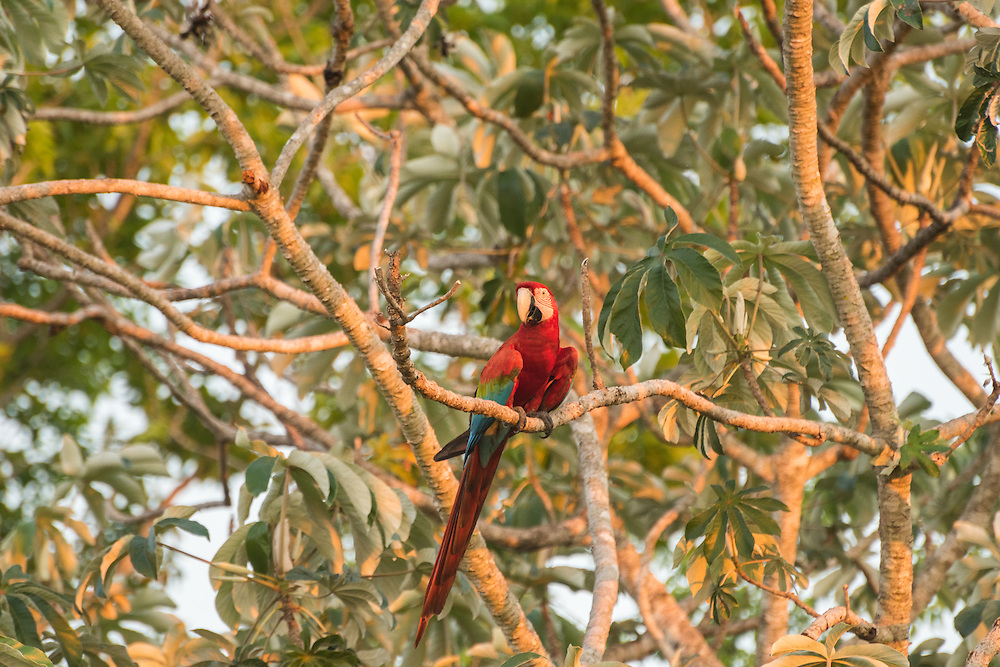 Red and blue macaw in the tree at sunset, Pantanal, Brazil.