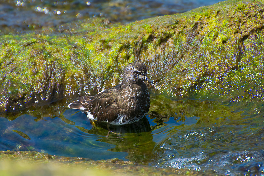 Common along the entire west coast of North America, this dark little member of the sandpiper was found grooming and bathing in a tidal pool among some rocks just outside of Los Angeles.