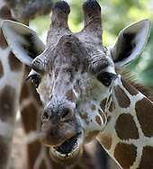 A close up potrait of a giraffe.