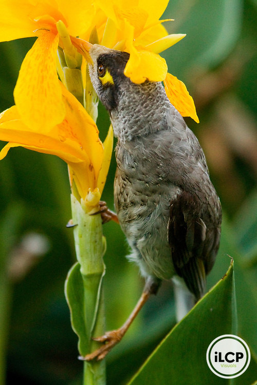Noisy Miner (Manorina melanocephala) feeding on flower nectar, Royal Botanic Gardens, Sydney, New South Wales, Australia