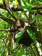 Termite nest in a tree, near Manzanillo, Limon, Costa Rica.