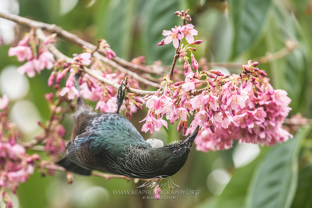 A tui hangs upside down while feeding off nectar from a blossom tree.