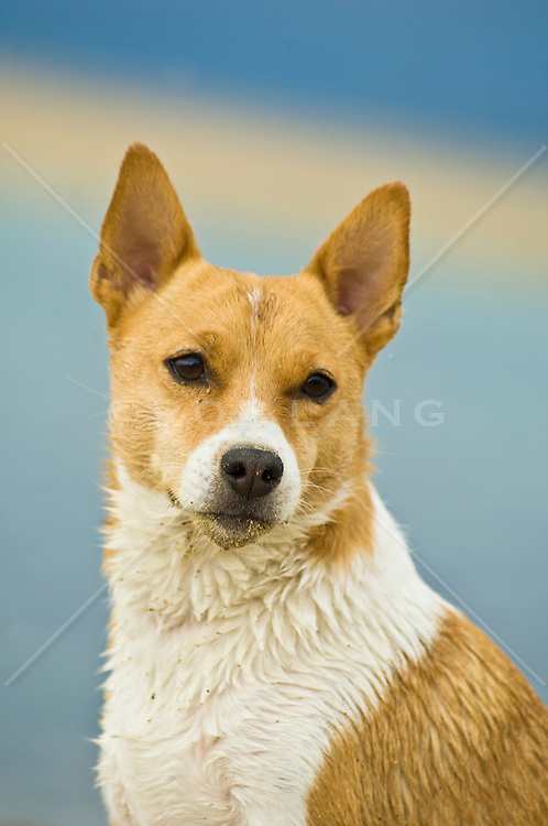portrait of a young jack russell terrier