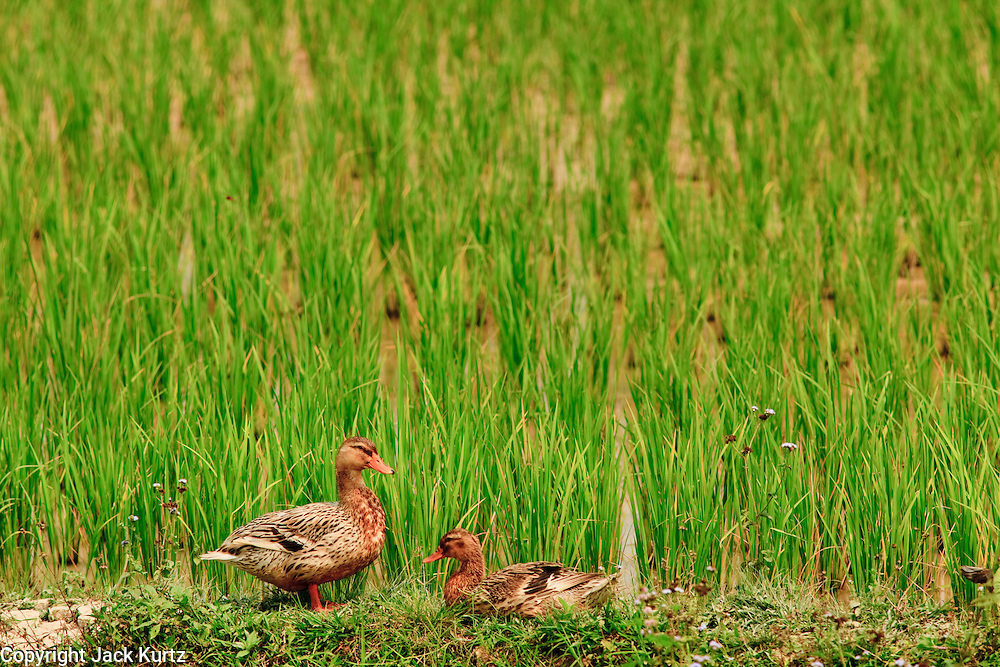16 MARCH 2009 -- LUANG PRABANG, LAOS: Ducks sit on the edge of rice fields south of Luang Prabang, Laos.  Photo by Jack Kurtz